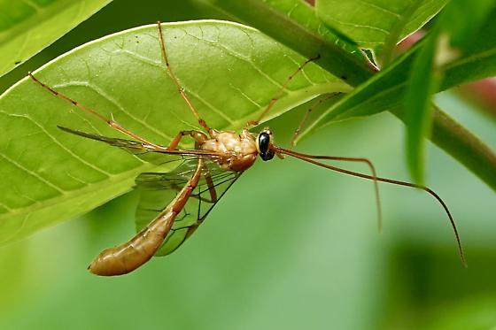 Enicospilus Wasps - Genus Enicospilus? - Ophion