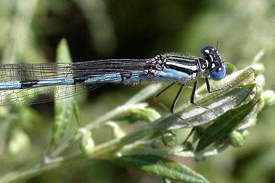 Bluet spp. - Enallagma durum - male