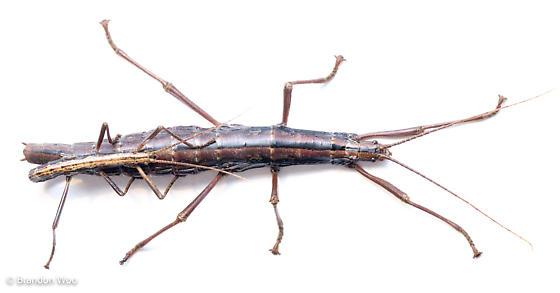 Anisomorpha - male - female