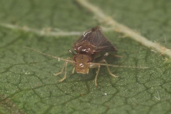 Chicken-necked bug - Polypsocus corruptus