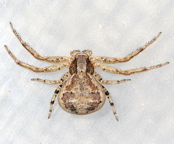 Crab Spider 3 - Xysticus - female