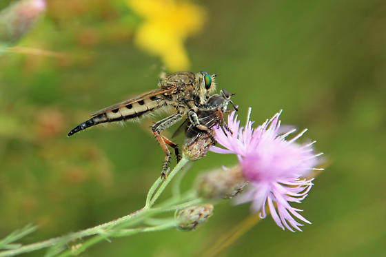 Robber Fly with Prey - Promachus vertebratus