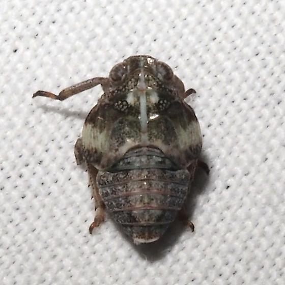 Hemiptera - Membracidae? - Exortus punctiferus