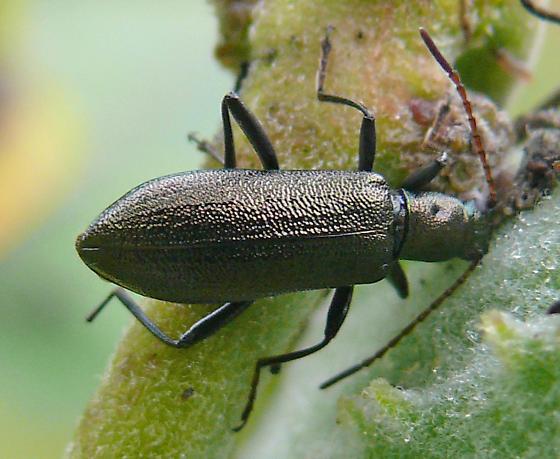 darkling beetle - Arthromacra aenea