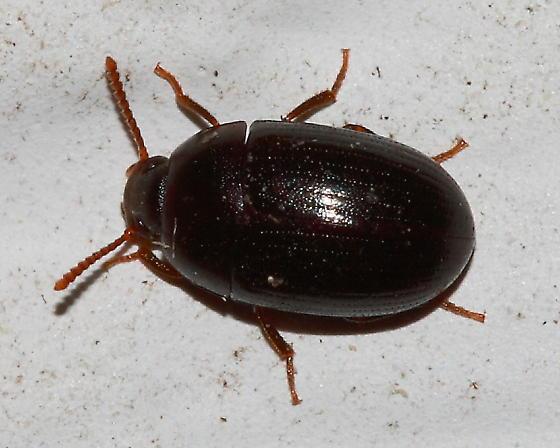Darkling Beetle ? - Platydema subcostatum