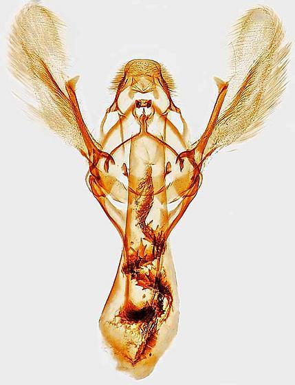 genitalia - Eurythmia angulella - male