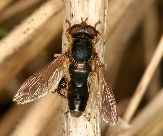 small black fly - Lejops perfidiosus