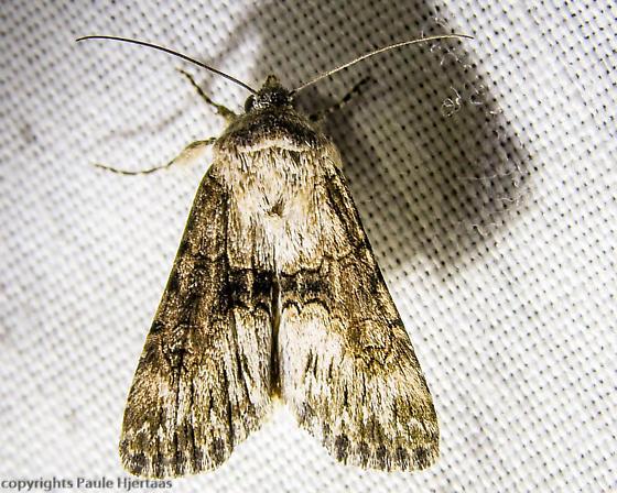 2329 Unknown Moth - Sympistis occata