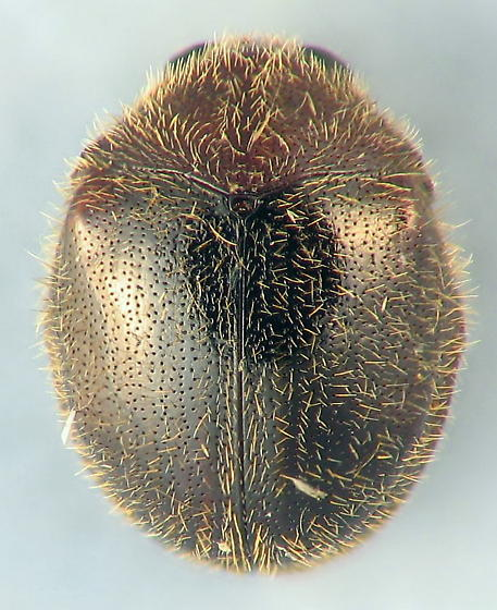 jolly fat guy - Caenocara bicolor