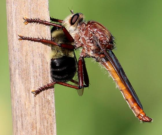 Insect eating bee - Proctacanthus rufus - male