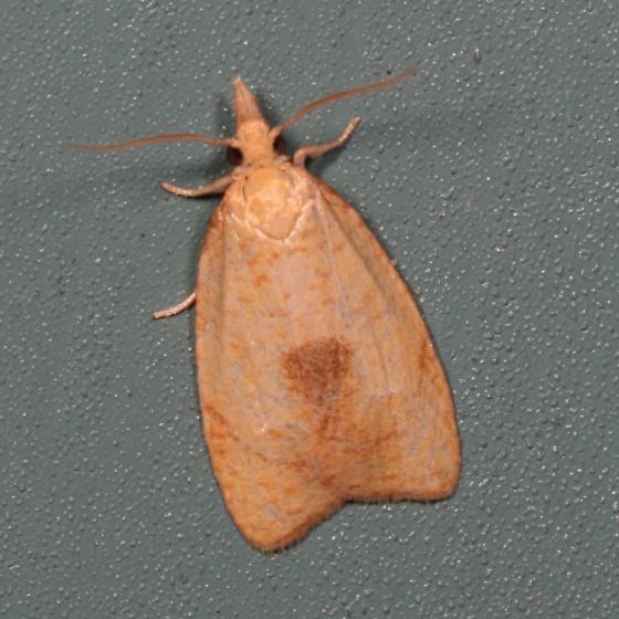 moth - Cenopis mesospila