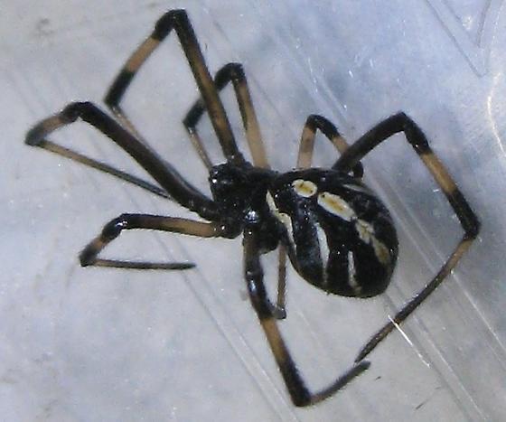 immature widow spider - Latrodectus hesperus - female