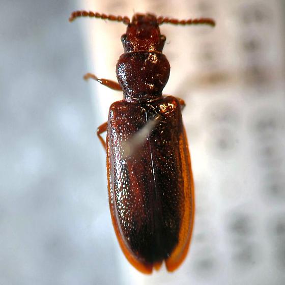 Salpingidae or Tenebrionidae? - Priognathus monilicornis