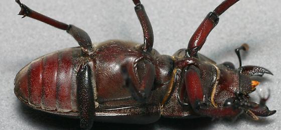Lucanus elaphus - female