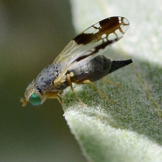 Trupanea on brittlebush - Trupanea nigricornis - female