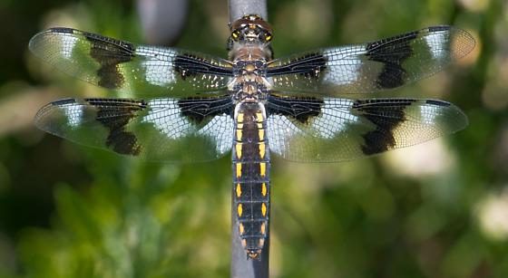 dragonfly - Libellula forensis - female