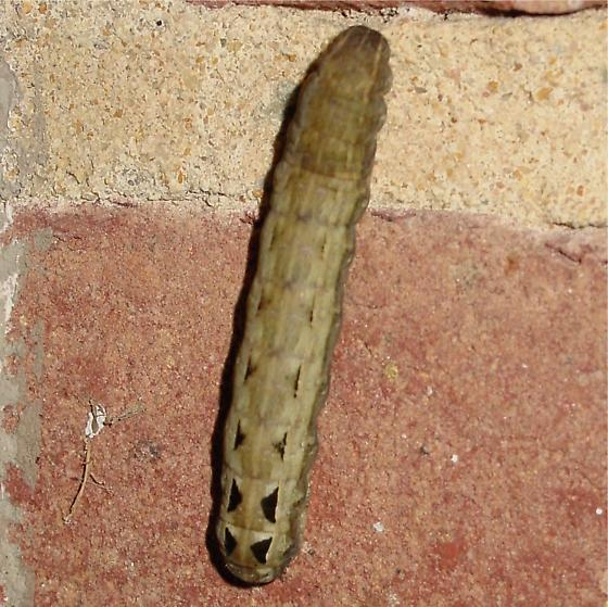 unknown caterpillar - Spodoptera ornithogalli