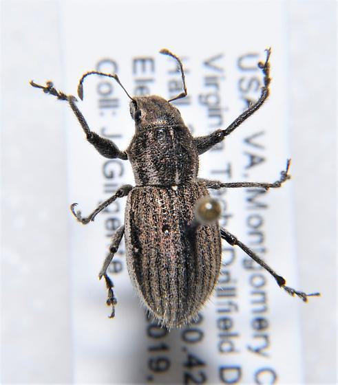 Naupactus sp. - Naupactus leucoloma