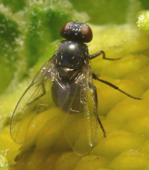 Fly ID - female