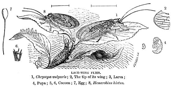 Lacewing life cycle