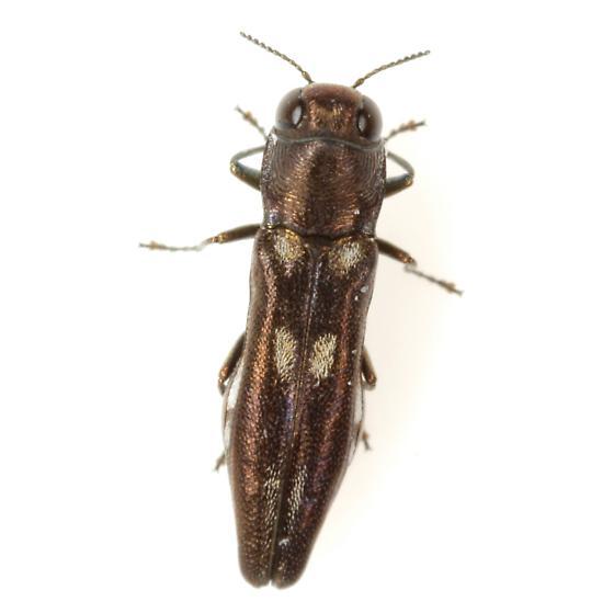 Agrilus prosopidis Fisher - Agrilus prosopidis