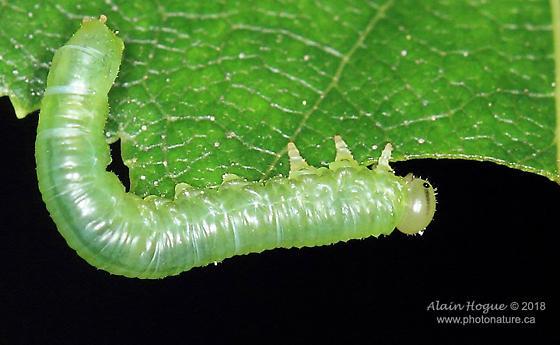 Symphyta - larva - Nematus