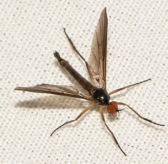 fly061217 - Rhamphomyia - male