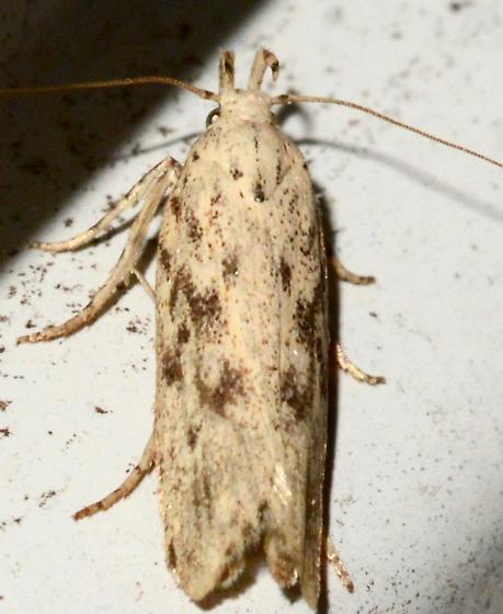 Gelechiidae Moth  - Frumenta nundinella