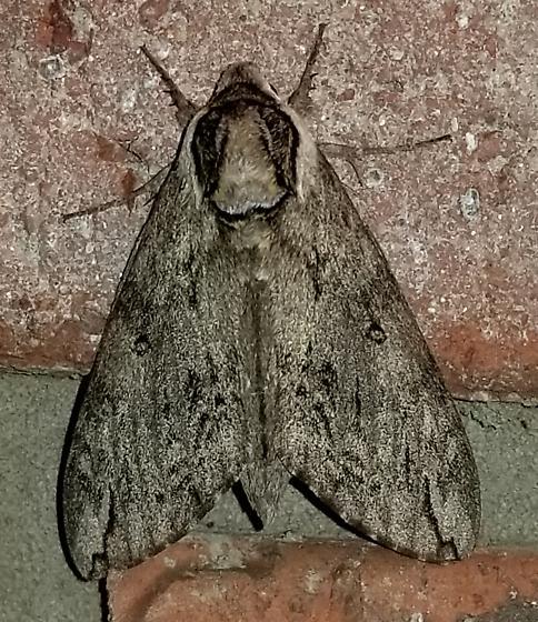 Moth of unkown species - Ceratomia catalpae