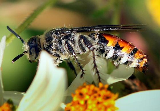 Hymenopteran - Campsomeris tolteca - female