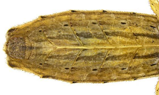 Male, Stenopoda spinulosa? - Stenopoda spinulosa - male