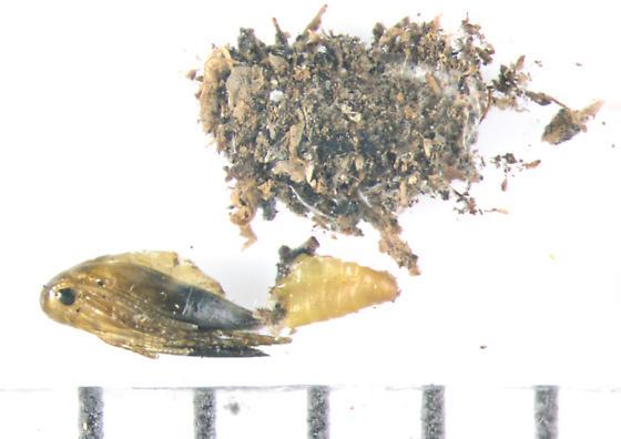 Heliozelidae, Shield Bearer Moths, on Grape, drat! - Heliozela aesella