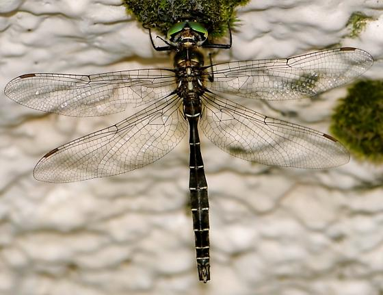Somatochlora albicincta (Ringed Emerald), dorsal view - Somatochlora albicincta - male