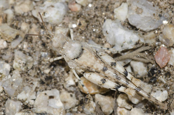 Cream Grasshopper - Cibolacris parviceps