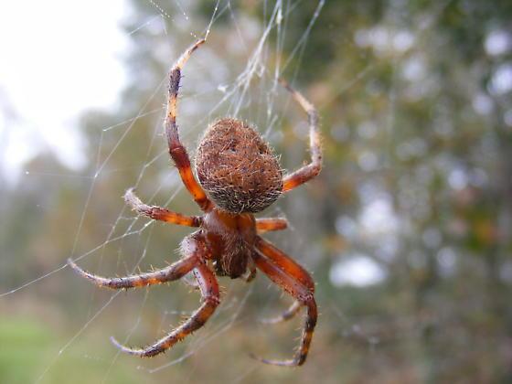 Unknown Spider - Neoscona crucifera
