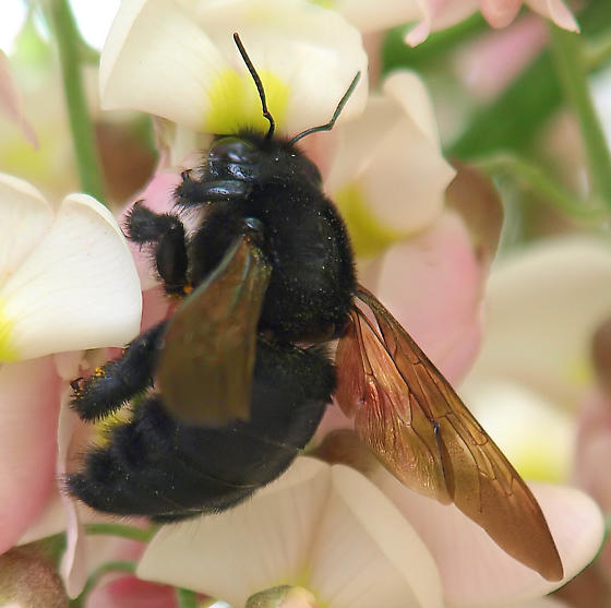 One of the carpenter bees? - Xylocopa varipuncta - female