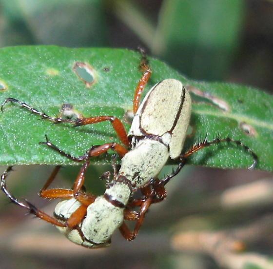 Shining Leaf Chafer - Macrodactylus uniformis