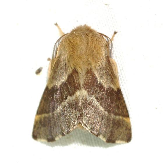 Moth - Malacosoma