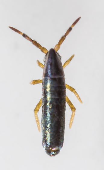 Lepidocyrtus paradoxus ? - Lepidocyrtus paradoxus