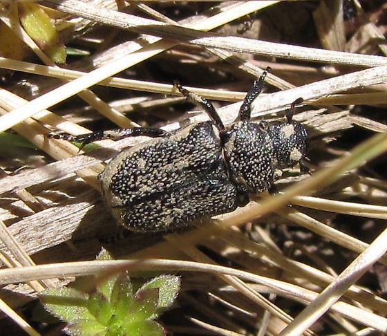 some flavor of scarabid? - Cremastocheilus castaneae