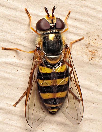 Eupeodes? - Eupeodes - female