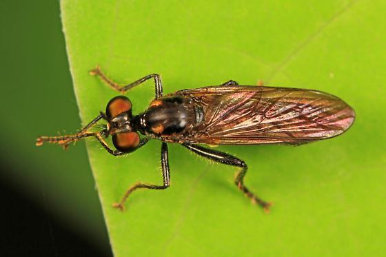Robber Fly - Eudioctria albius - female