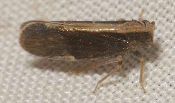 Pintalia delicata (Fowler) - Pintalia delicata