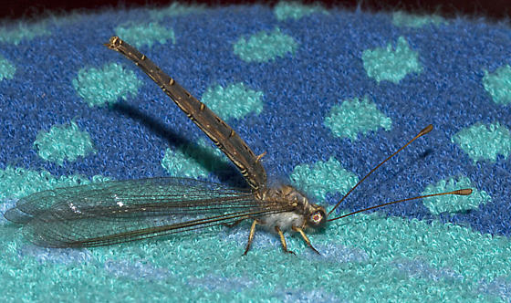 Owlfly -- Ascaloptynx appendiculata - Ascaloptynx appendiculata
