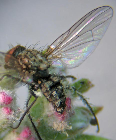 Diptera mystery