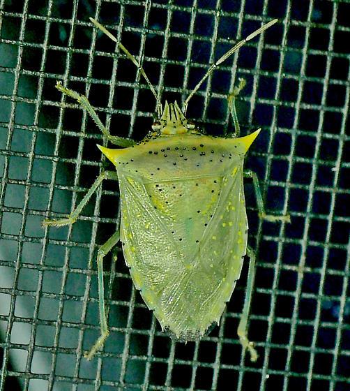 Texas SE Gulf Coast - Arvelius albopunctatus? - Arvelius albopunctatus