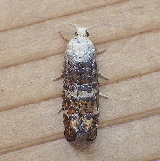 Tortricidae: Retinia? - Retinia metallica