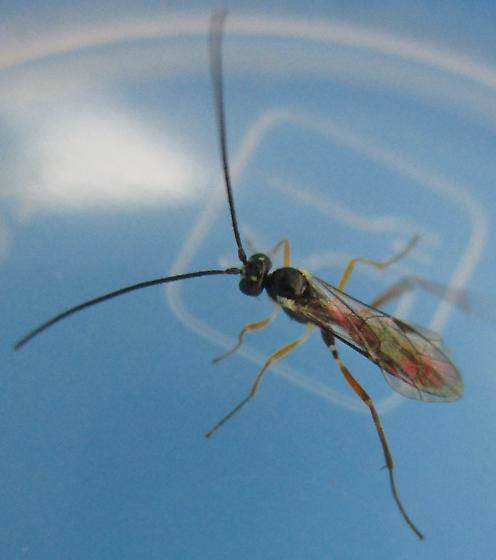 Small Reddish Wasp