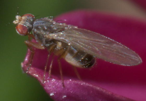 Small fly with red eyes - Scaptomyza