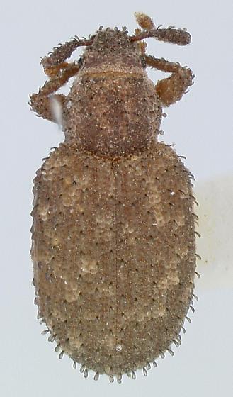 Cathormiocerus curvipes Wollaston - Cathormiocerus curvipes